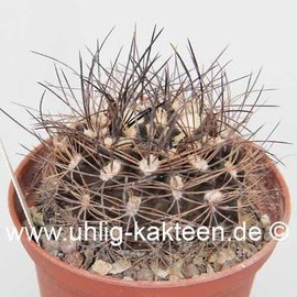 Pyrrhocactus neohankeanus WK 730 v. flaviflora ne of Taltal, coastal mts, (syn. Neochilenia neohankeana v. flaviflora)