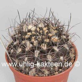 Pyrrhocactus neohankeanus WK 730a v. flaviflora WK 730a Küstenberge nördl. Taltal