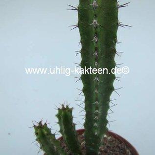 Euphorbia x soanieranensis
