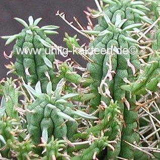 Euphorbia-Hybr. ´Raine´