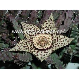 Orbea variegata (syn. Stapelia)  (syn. Stapelia)