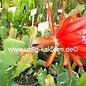Epiphyllum-Hybr. `Cadiz`