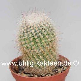 Notocactus glomeratus Gf 184