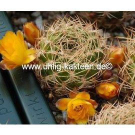 Sulcorebutia breviflora WK 382  Rio Caine, Loma Sikhimirani, Capinota