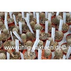 Turbinicarpus mandragora  ssp. pailanus    CITES