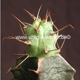 Euphorbia Cape Guardacafui    gepfr.