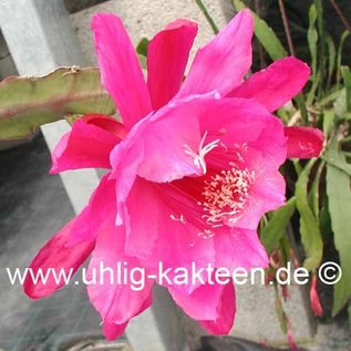 Epiphyllum-Hybr. Pink Erika