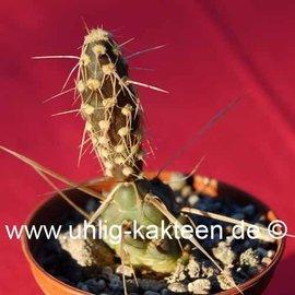 Tephrocactus spec.   Las Lanas
