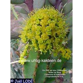 Euphorbia ledienii