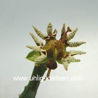 Euphorbia tridentata