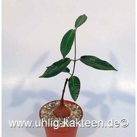 Fockea natalensis   Caudex