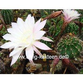 Echinopsis-Hybr. `Hermine`