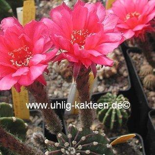 Echinopsis-Hybr. `Nürnberg` Serie 303 Gräser