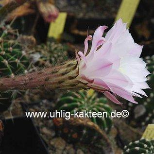 Echinopsis-Hybr. `Patronus`