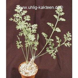 Pelargonium carnosum   Caudex