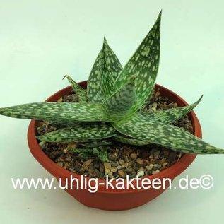 Aloe rauhii  forma LC