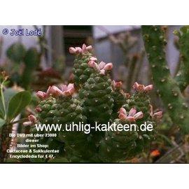 Monadenium ritchiei    Ostafrika, Kenia