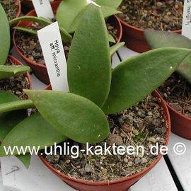 Hoya aff. micrantha