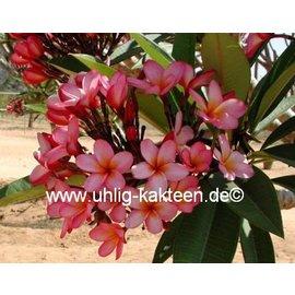 Plumeria-Hybr. ´Spring Festival´ ´Frangipani´  rosa-orange / pink-orange