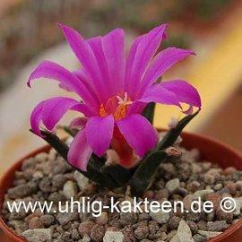 Ariocarpus agavioides  # (Seeds)