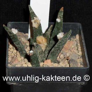 Ariocarpus agavioides  # (Semillas)