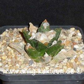 Ariocarpus bravoanus      CITES  (Samen)