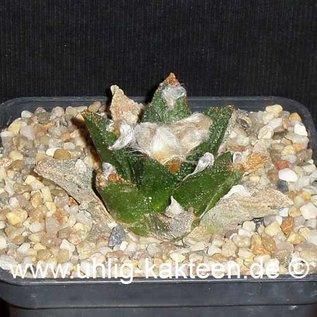 Ariocarpus bravoanus  # (Semillas)