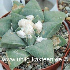 Ariocarpus furfuraceus  # (Seeds)