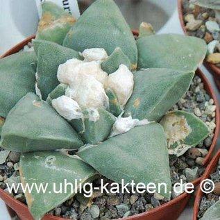 Ariocarpus furfuraceus  # (Semillas)