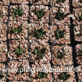 Ariocarpus trigonus    (Samen)  (CITES)