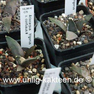 Ariocarpus trigonus v. confusus # (Semillas)