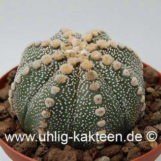 Astrophytum asterias  # (Semillas)