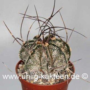 Astrophytum capricorne fa. Saltillo  (Samen)