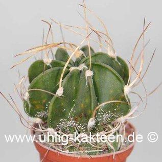 Astrophytum capricorne v. crassispinum  (Semillas)