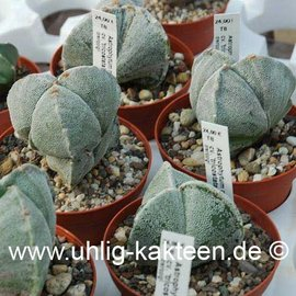 Astrophytum myriostigma tricostata  (Semillas)