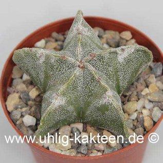 Astrophytum myriostigma v. strongylogonum  (Samen)