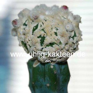 Astrophytum ornatum cv. Fukuryu  (Semillas)