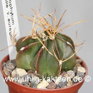 Astrophytum senile v. aureum  (Samen)