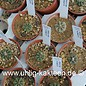 Aztekium ritteri      CITES  (Semillas)