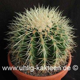 Echinocactus grusonii   (Samen)