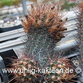 Echinocereus ferreirianus v. lindsayi # (Semillas)