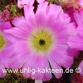 Echinocereus pentalophus v. procumbens HK 1281 (Samen)