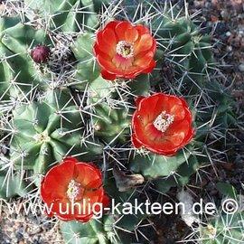 Echinocereus triglochidiatus       (dw) (Semillas)