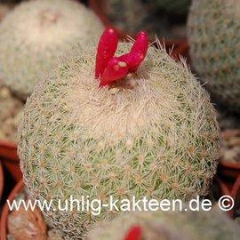 Epithelantha greggii   (Samen)
