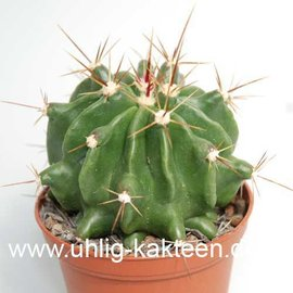 Ferocactus echidne v. rafaelensis  (Semillas)