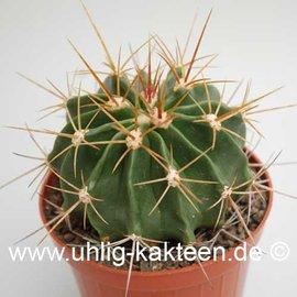 Ferocactus echidne v. victoriensis  (Semillas)