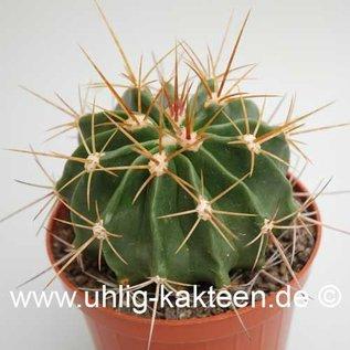 Ferocactus echidne v. victoriensis  (Samen)