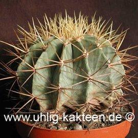 Ferocactus glaucescens        (Semillas)