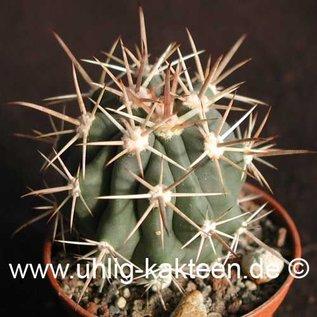 Ferocactus santa-maria   Puerto San Carlos, BC     (Samen)