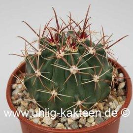 Ferocactus townsendianus X santa-maria  (Semillas)